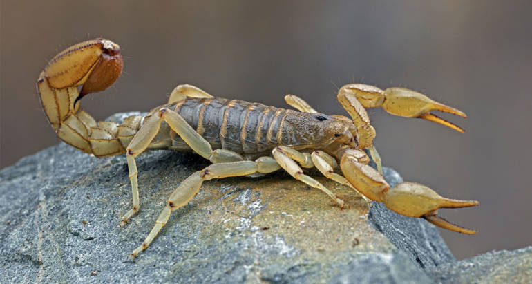Bark Scorpion Texas