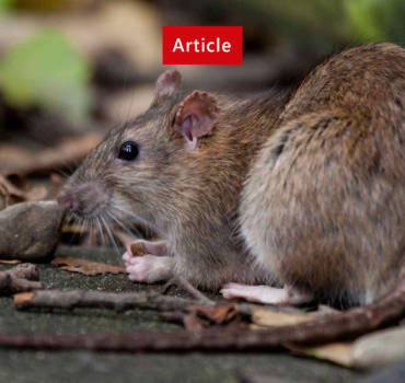 AUGMENTATION OF RATS AND MICE