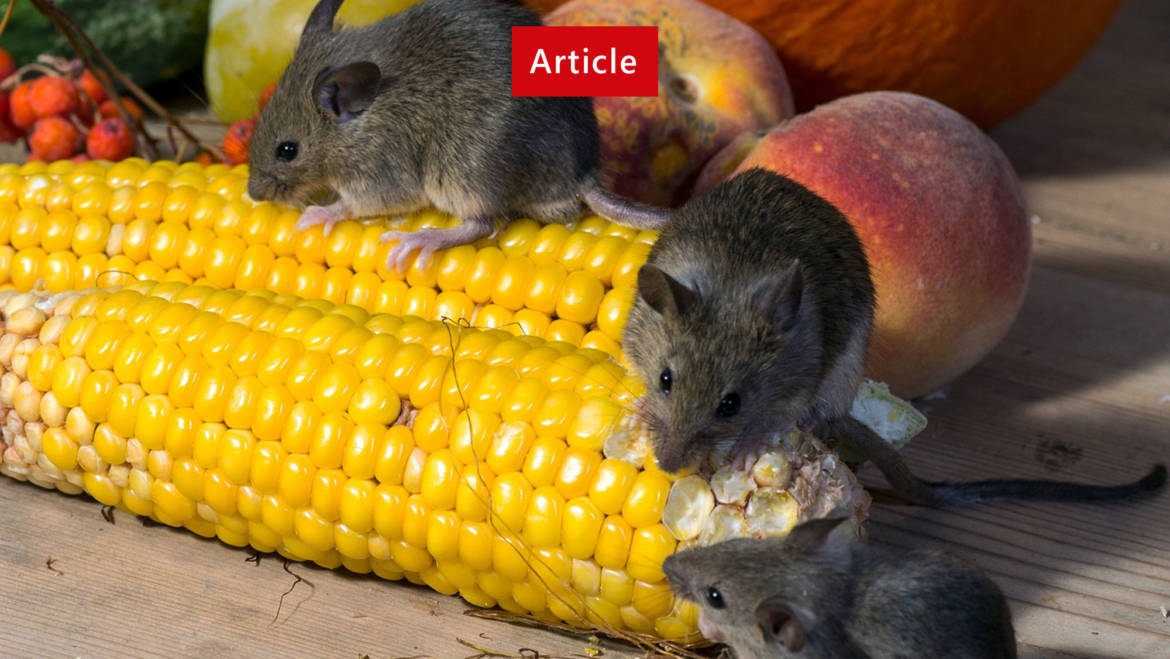 Difference Between Rats & Mice
