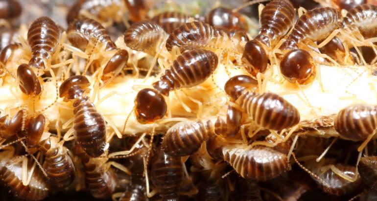 Swarming Termites